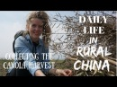 Daily Life in China CANOLA HARVEST IN RURAL QINGHAI 2017