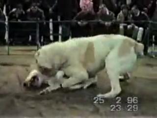 Volkodav Vs. Bull Terrier