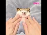 Ежик наслаждается массажем