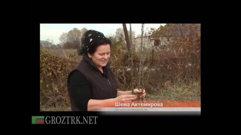 Чечня. Благодатный край. Осенняя высадка саженцев кустарников и плодовых деревьев.
