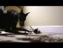 Доберман и котенок