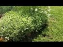 Почвопокровные цветы - многолетники. Видео обзор 14 растений