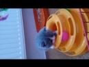 Британский мальчик 2 голубой биколор 1 месяц открывается резервирование с дальнейшей продажей