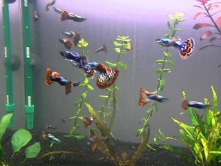 гуппи ------------------------- Platinium Red Mosaic Big Ear Guppy Males