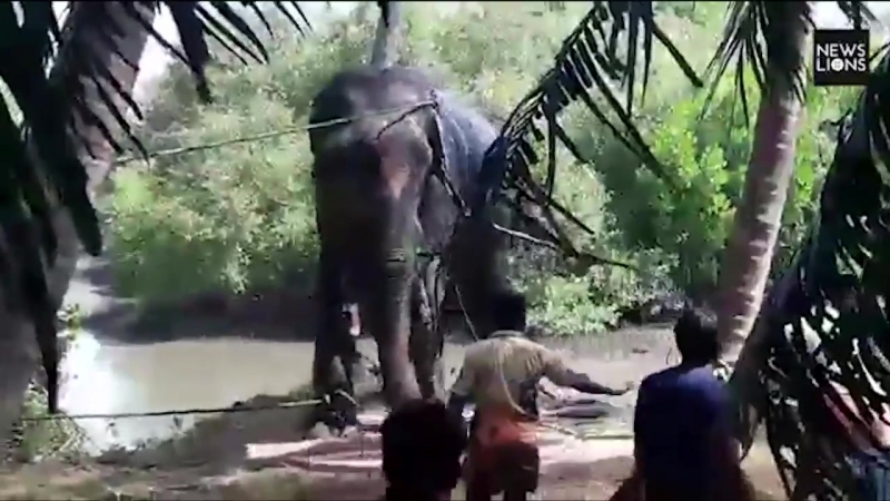 A village literally pulled together to rescue a stranded elephant stuck in mud using a JCB