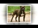 Американский стаффордширский терьер - лучший защитник собачьего мира