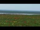 тюльпаны Калмыкии