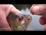 Coarse fishing wt float &amp maggots in canal white vs red. Рыбалка красные опарыши или белые.