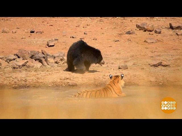 В мире. Схватка тигра с медведицей. 20.03.2018