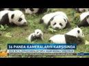Yeni doğan 36 Panda yavrusu ilk defa kameraların karşısında