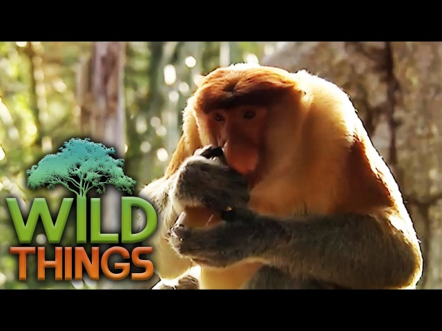 Proboscis Monkey Breaking In Wild Things