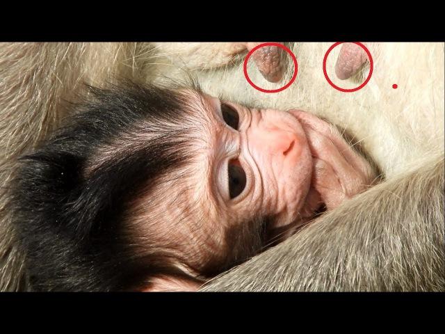 🙉Monkey Give A Birth Newborn Baby 2 day - Lovely Baby Monkey Newborn | Animals Life - part 203