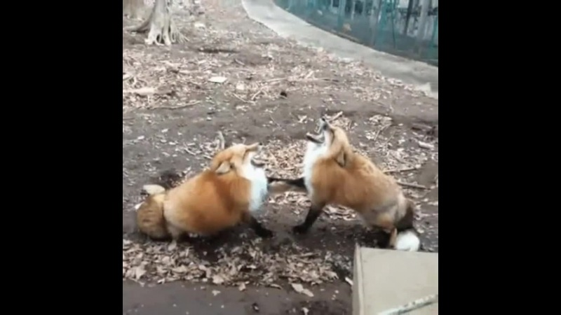 Two foxes laugh