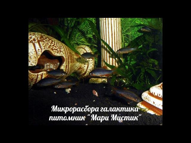 МИКРОРАСБОРА ГАЛАКТИКА - НЕРЕСТ ( МАРИ МИСТИК ) АКВАРИУМ НАНО РЫБКИ