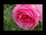 Salvatore Adamo ~ Quand les roses ~