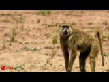 Amazing Baboons Save Impala From Cheetah Attack In Africa 2017