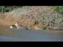 Леопард поймал крокодила VIDEO ВАРЕНЬЕ