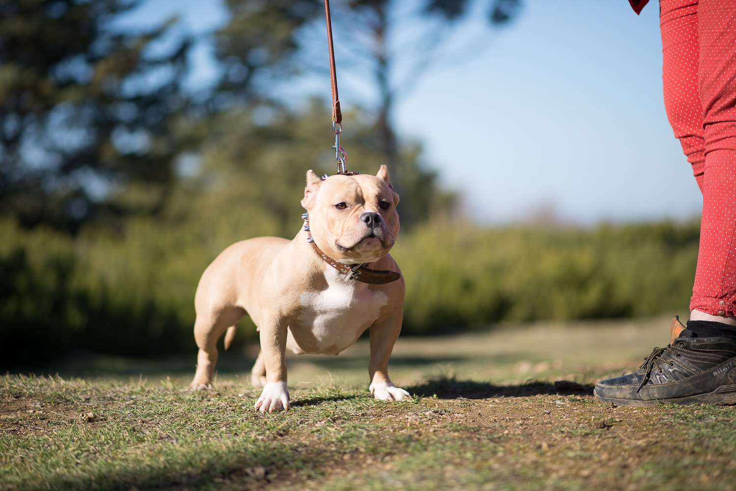 american bully breed - HD 1500×1001