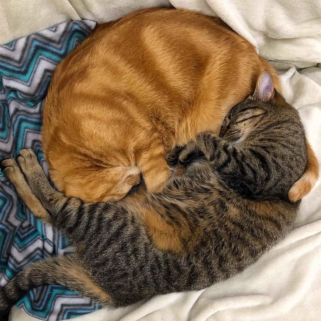 фото с двумя котами обнимаются и спят родов николь решила
