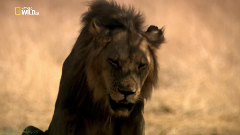 Львиное королевство 3 Кровная вражда Документальный природа животные 2017
