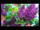 Parfum de liliac Scent of Lilacs