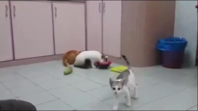 Мега ржач! Реакция котов на огурцы. Cats vs cucumbers 2016