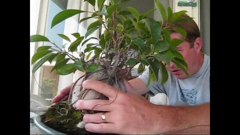How to turn a Ginseng Ficus into a real Bonsai Tree