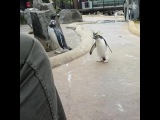 Pinguin Punk  #coub, #коуб