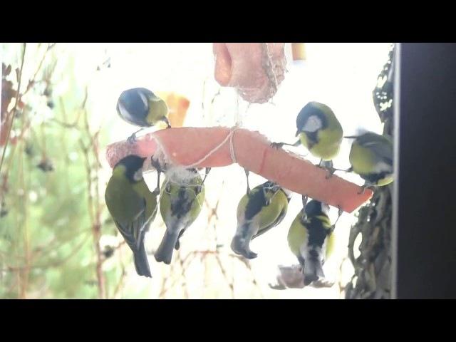 Синички на кормушке. Как сделать кормушку для птиц. Лучшая кормушка для синиц.