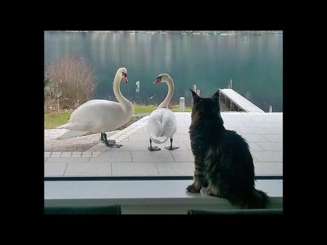 Из жизни друга - лебедя