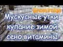Мускусные утки купание зимой сено-витамины