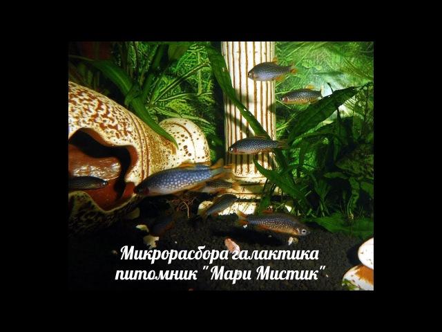 КОРМЛЕНИЕ ГАЛАКТИКИ ( МАРИ МИСТИК ) НАНО РЫБКИ . АКВАРИУМ