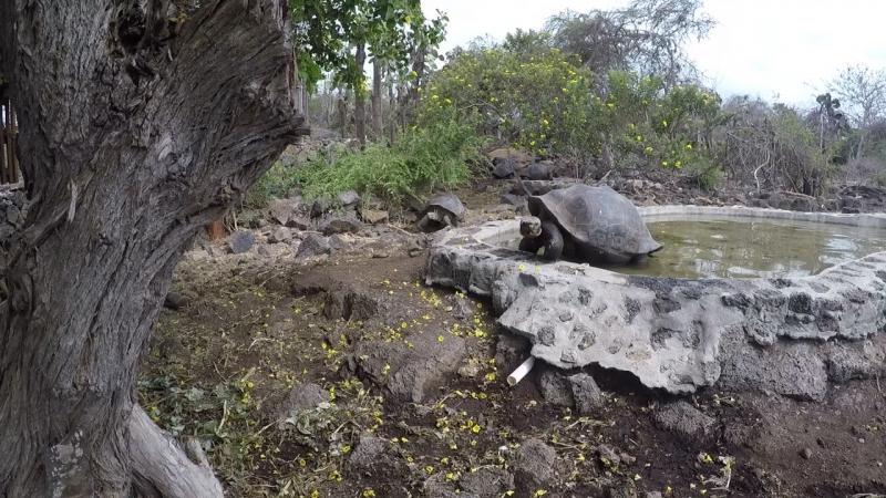 галапагосы черепахи