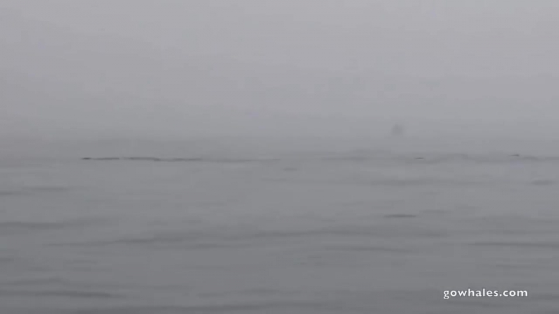 Humpbacks trying to fight off killer whale feeding frenzy.mp4