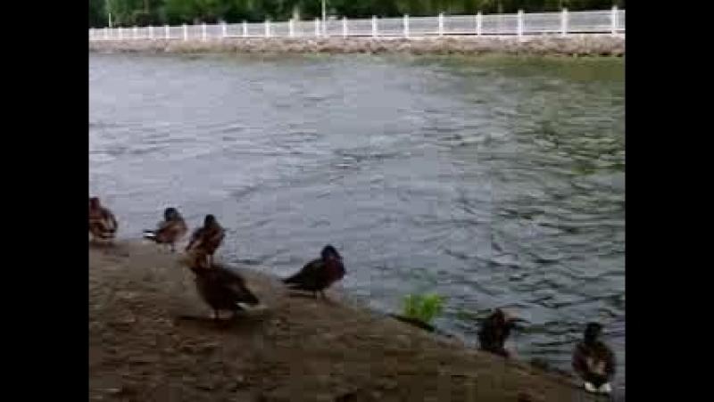 дикі качки в Тернополі