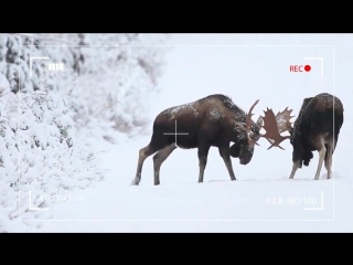 A-fight-between-two-elk
