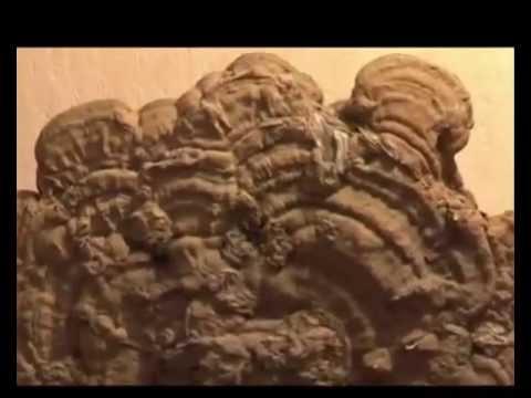 Что такое Ганодерма? (Ganoderma Lucidum, Рейши, Линчжи, Линжи, Reishi, Lingzhi, Youngchi)