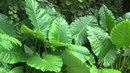 Лопух. Целебные растения и их применение Бабурин.