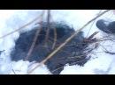 Охота на бобра зимой. Установка капкана под лед
