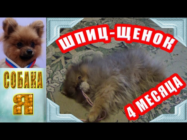 Шпиц Щенок 4 месяца первые дни в доме ( Чипа ). Spitz Puppy 4 months first days in the house.