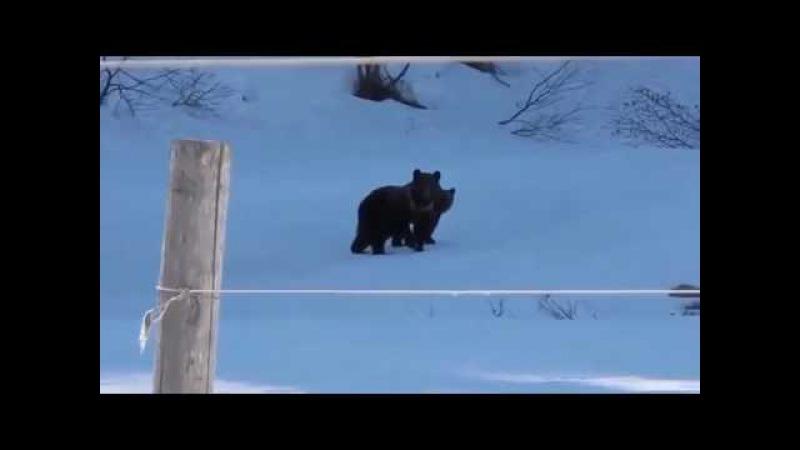 Бабка прогнала медведей