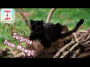 Kinder Surprise from Mowgli. Egg. Opening. Unboxing. Playing toys. Распаковка киндер сюрприза.