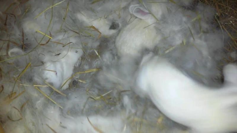 осмотр гнезда, колифорнийци 12 дней