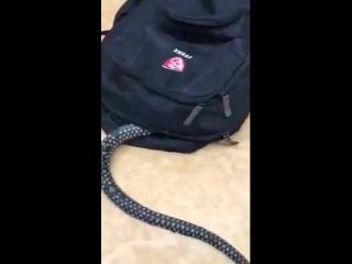 Змея залезает в рюкзак