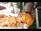 Белки в парке воруют орехи