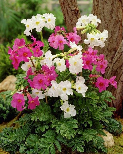 инкарвиллея инкарвиллея (incarvillea) - эффектное растение с красивыми цветками и листьями из семейства бигнониевые. в садах она встречается довольно редко, но вполне заслуживает внимания
