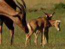 К. Сен-Санс. Карнавал животных. Антилопы.