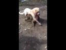 Alabay vs pitbull