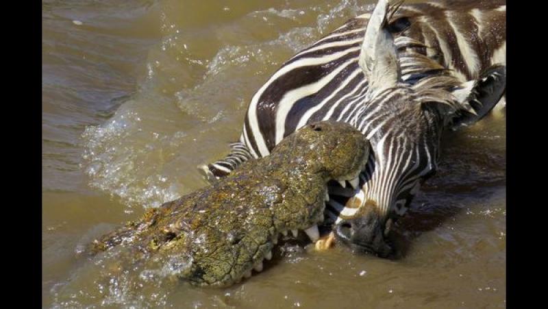Зебра против Крокодила - последствия ...