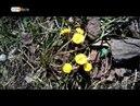 В Ярославле появились первые цветы Мать-и-мачехи